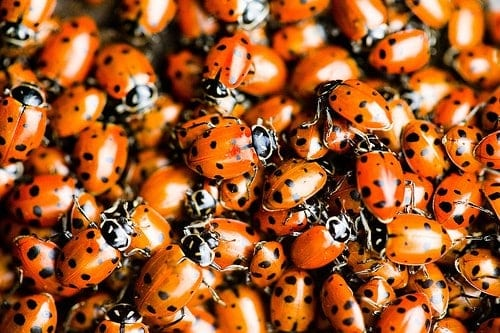Box Of Live Ladybugs