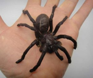 Edible Dehydrated Zebra Tarantula